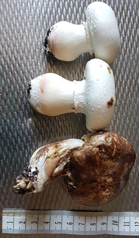 https://www.ravenslair.nl/GoT2/IMG_2019-08-31_champignons.jpg